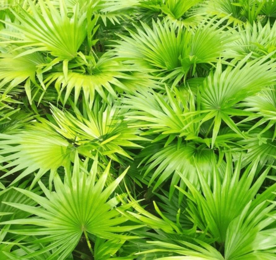Mycosyn Pro Ingredient-Saw Palmetto