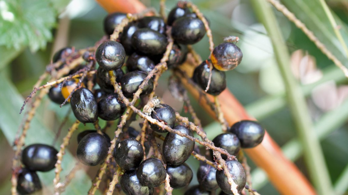 Health Flow Male Enhancement Ingredient- Saw Palmetto Fruit Extract